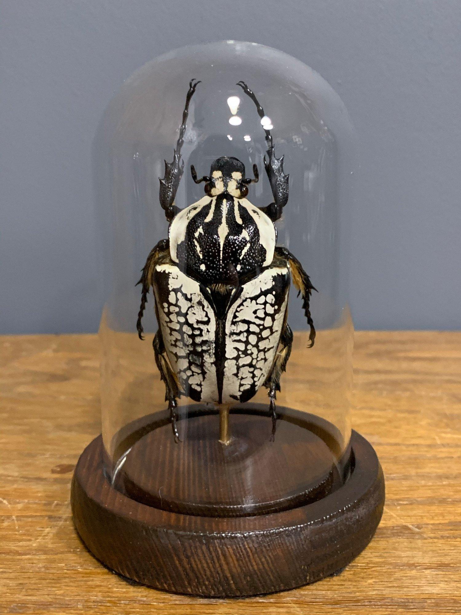 Goliath beetle 1