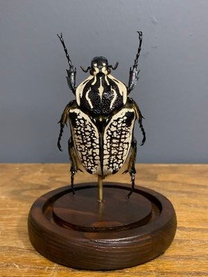 Goliath beetle 3