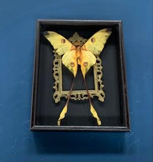 Comet moth frame