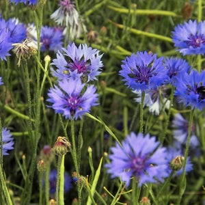 Image of CORNFLOWER SEEDS