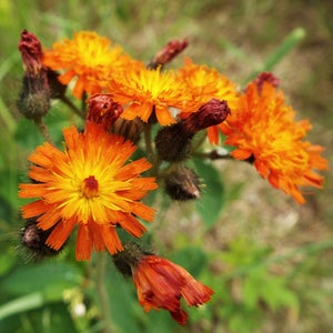 Image of FOX & CUBS SEEDS