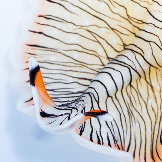 Image of Tiger Flatworm Print (Open Edition)