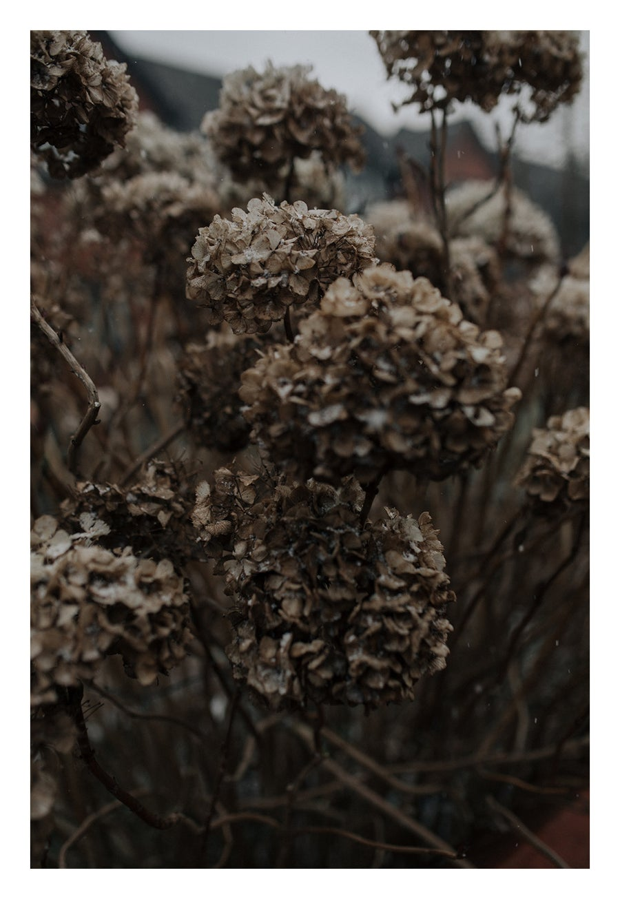 Image of Hortensia en hiver