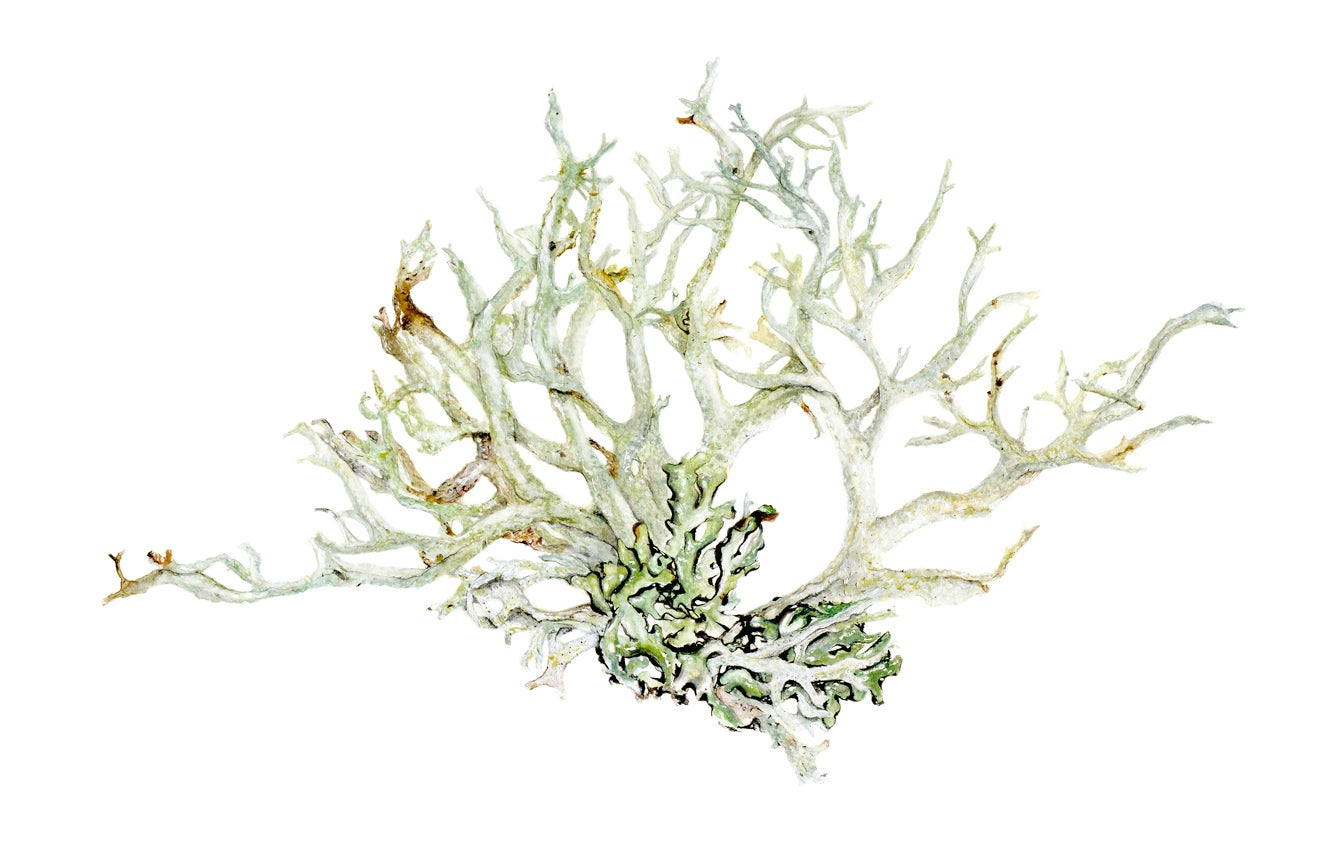 Image of Evernia Prunastri