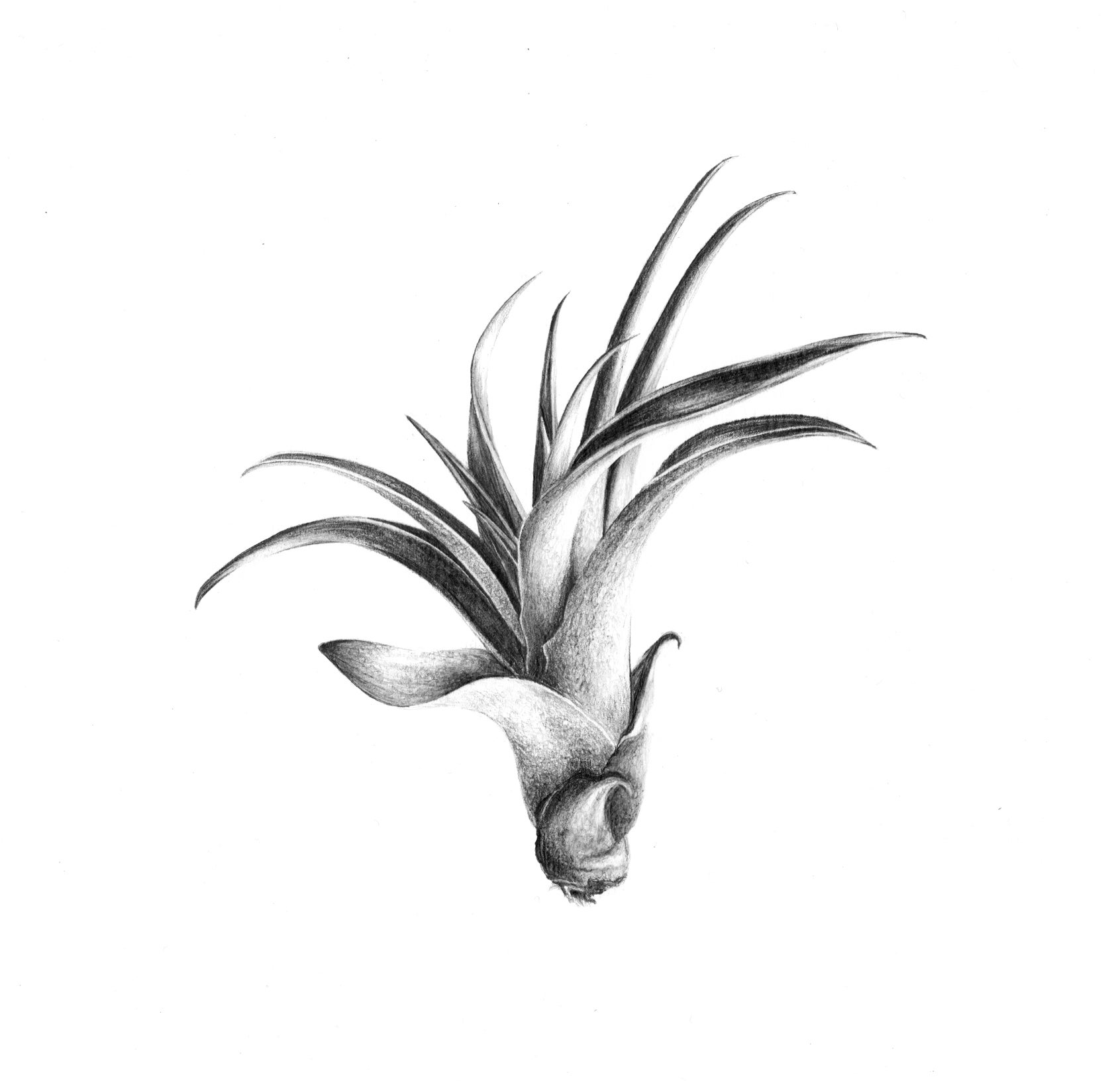 Image of Tillandsia Capitata n°1