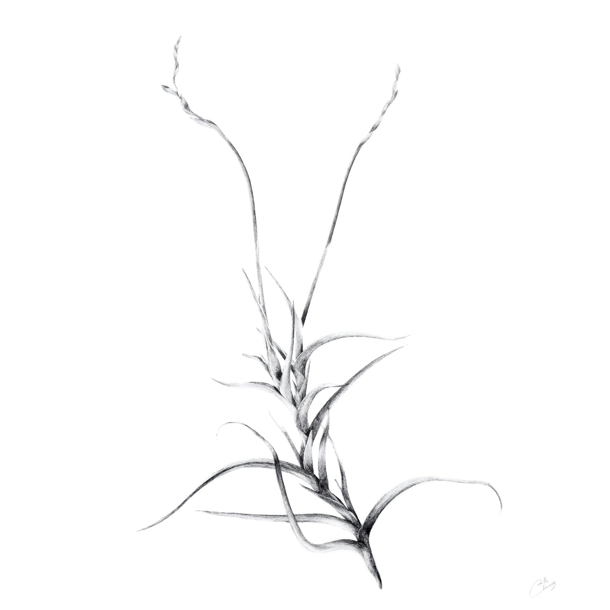 Image of Tillandsia Myosura