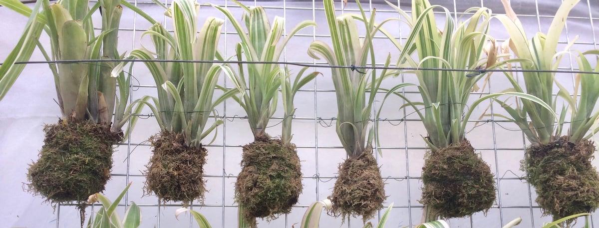 Image of billbergia nutans variegata