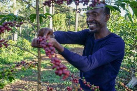 Image of Ethiopian Guji