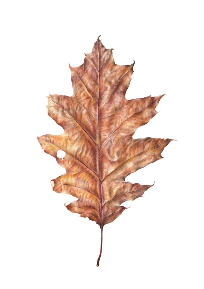 """Northern Red Oak Leaf"". Botanical fine art print of a colored pencil drawing."