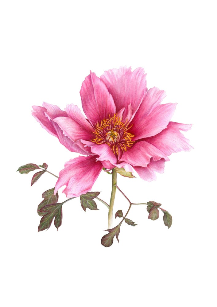 """Tree Peony"". Fine art print of a botanical watercolor painting."