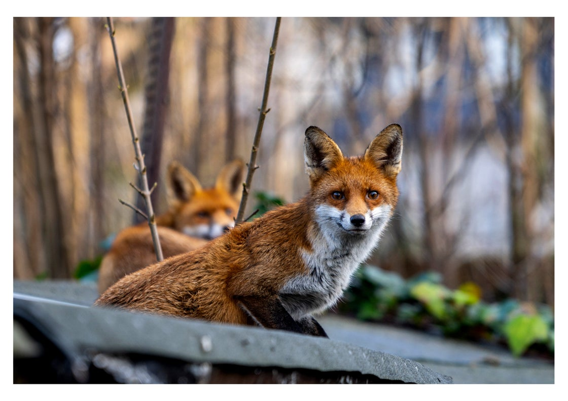Image of Relaxed Foxes (Charity Print - for League Against Cruel Sports)