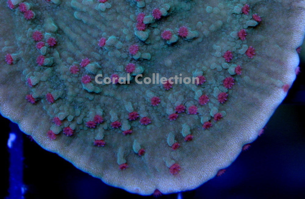 Image of Pink Polyp Cap