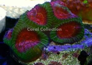 Image of CC Aussi Watermellon Favia