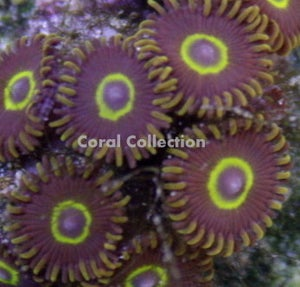 Image of CC Purple Stinger Zoa