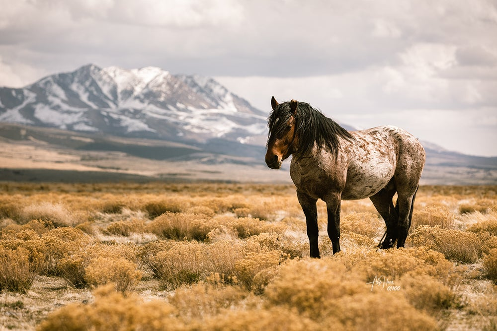 Image of Set of three 13x19 limited edition wild horse prints...