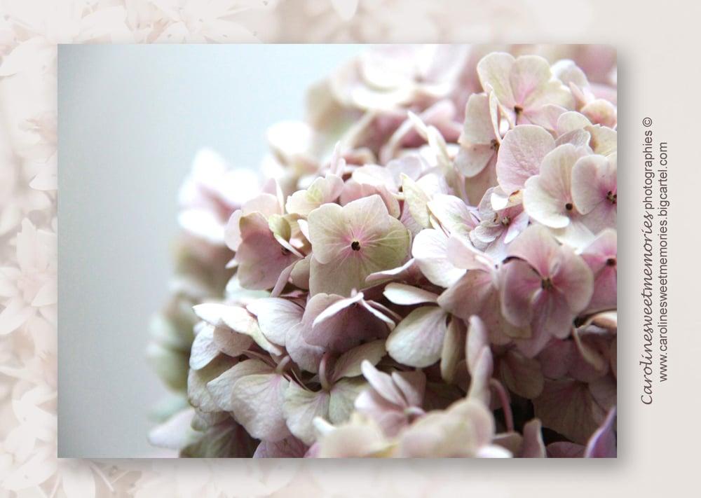 Image of L'hortensia poudré | carte postale