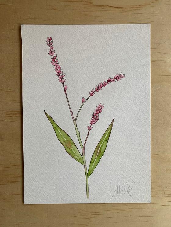 Image of Slender Knotweed - Original  Watercolour