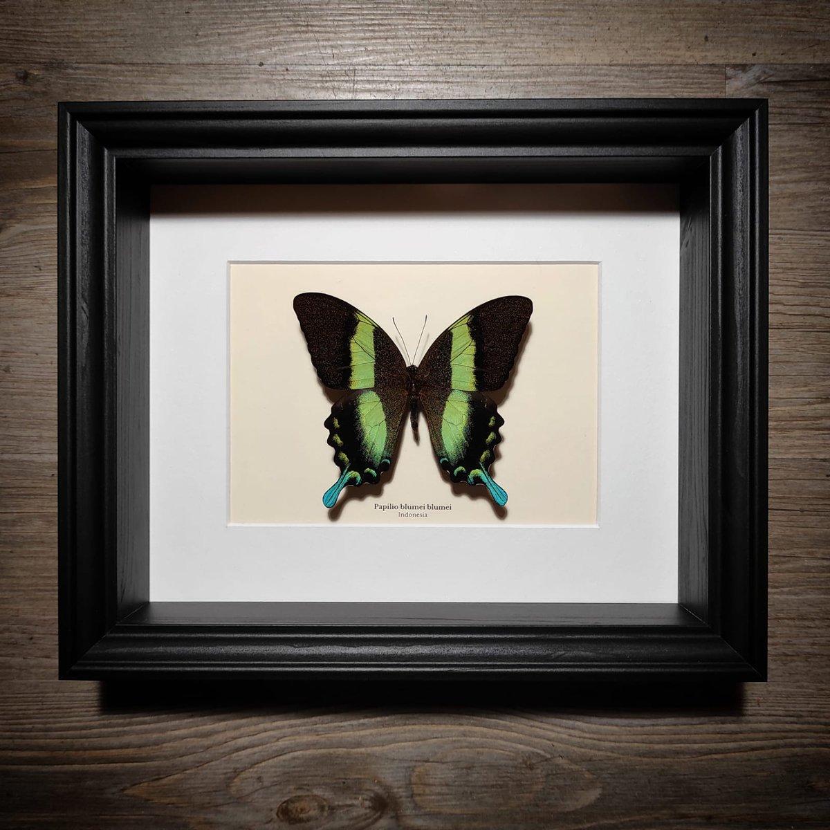 Image of Esemplare di Papilio blumei blumei di Malatea Studio