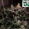 Gelato Mint ( Island Life Seeds ) 5 pk