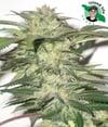Bio Diesel ( Island Life Seeds ) 5 pk