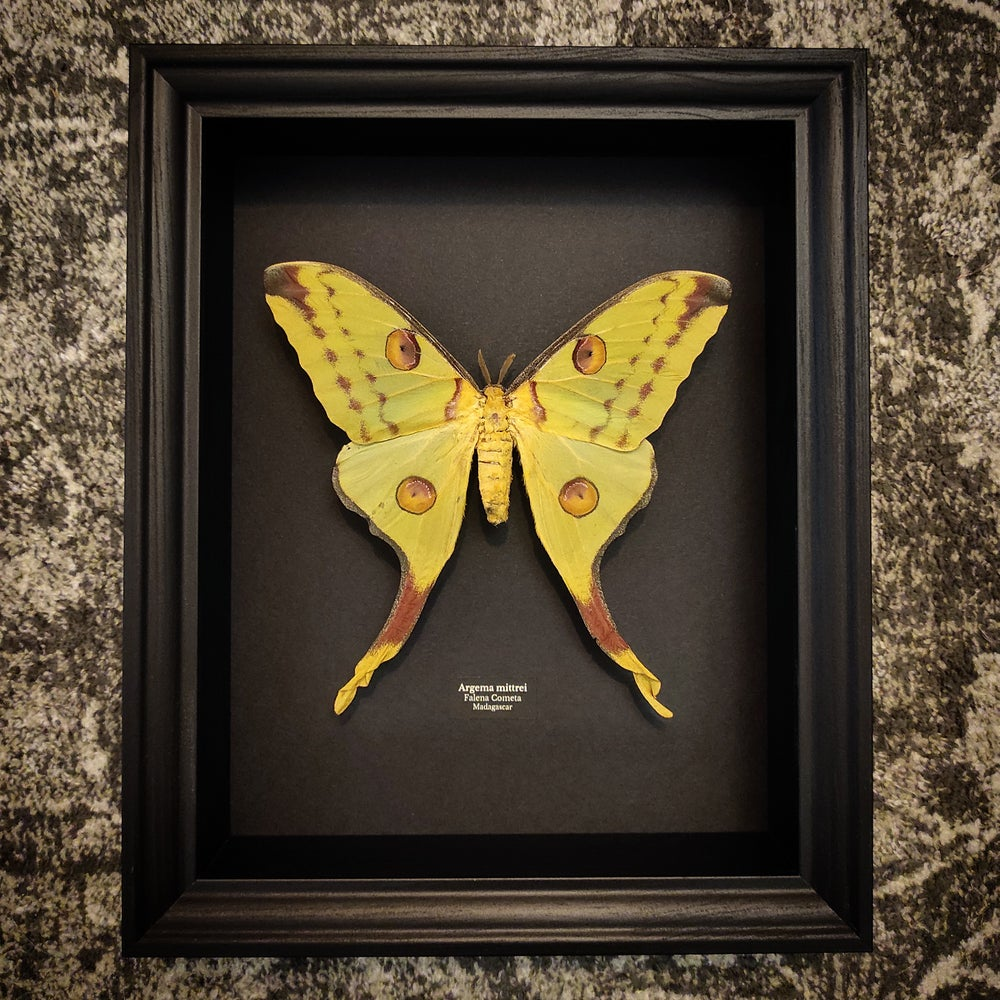 Image of Cometh Moth #black