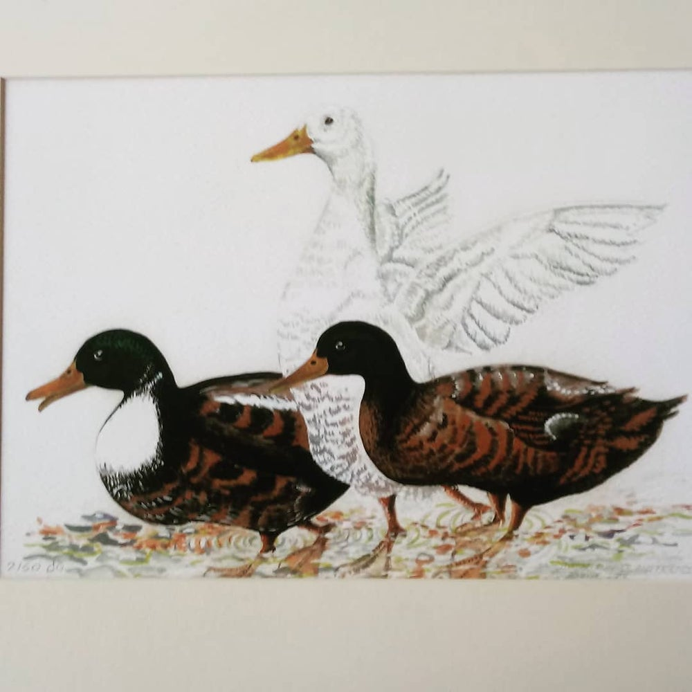 Image of Runner Duck and Chums