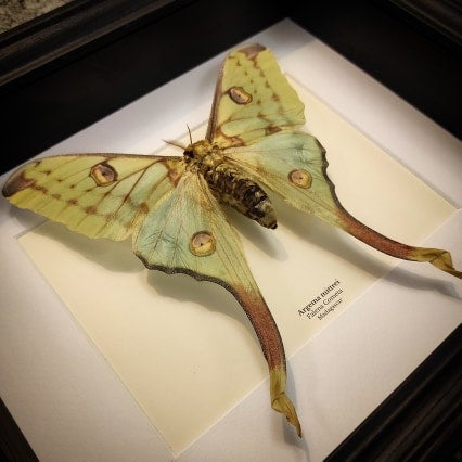 Image of Comet Moth