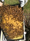 Nucleus of Bees