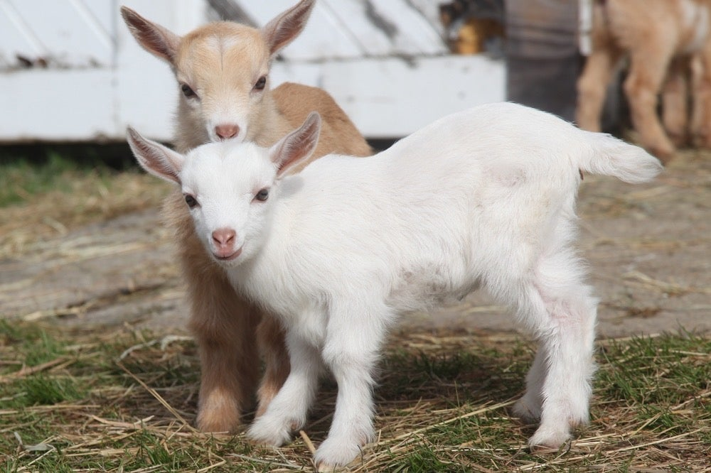 Image of 2021 Baby Goat Minis