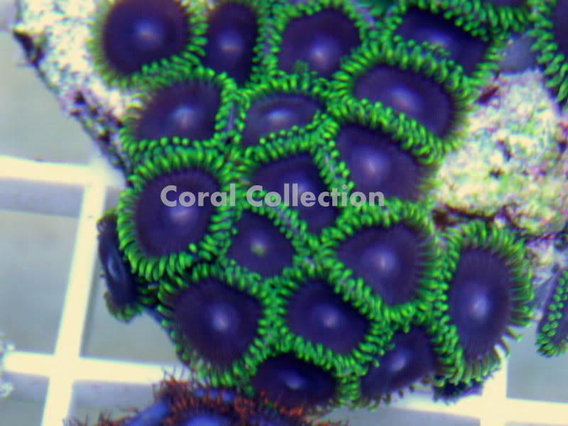 Image of Purple Heart Zoanthid