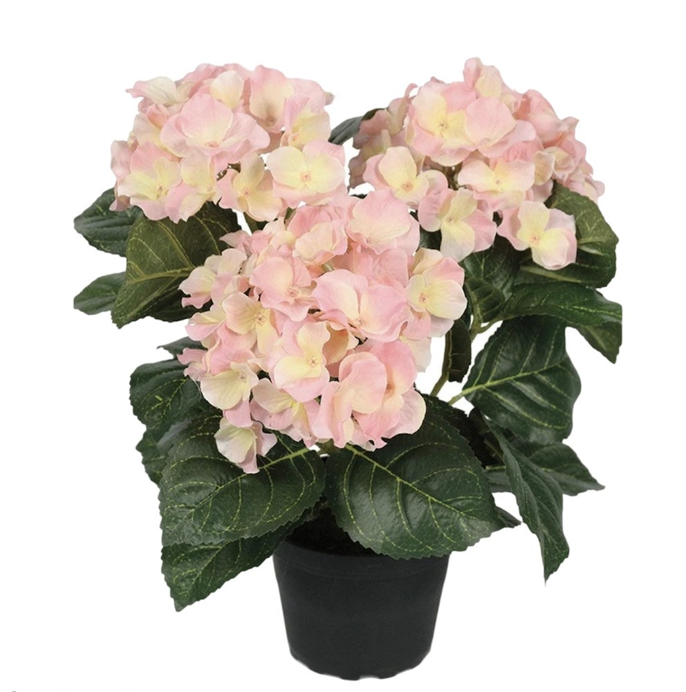 Image of Blush Pink Potted Hydrangea