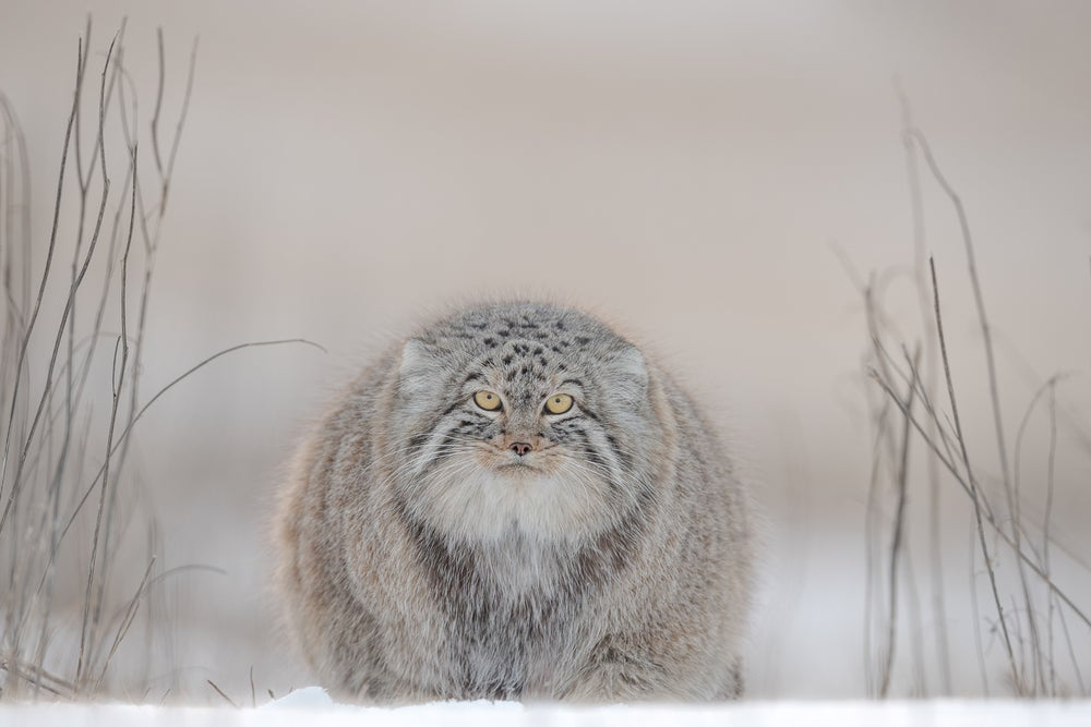 Image of LIMITED EDITION FINE ART PRINT - PALLAS CAT IN REEDS