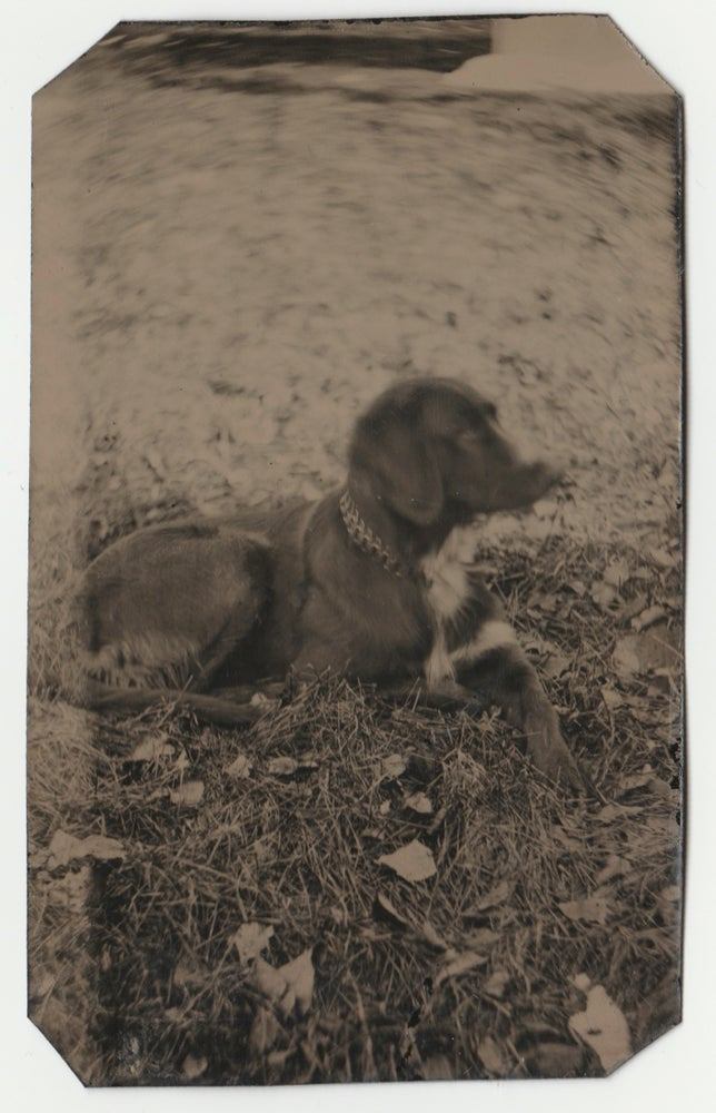 Image of Anonymous: tintype of a hunting dog, US ca. 1870