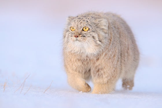 Image of LIMITED EDITION FINE ART PRINT - Pallas Cat