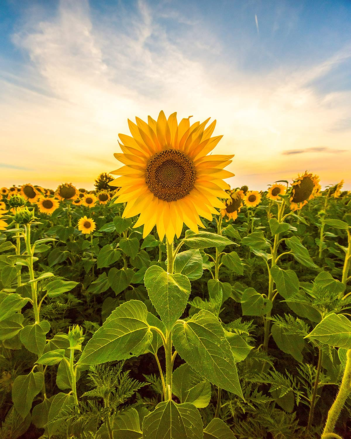 Image of Sunflower Field Mini Sessions