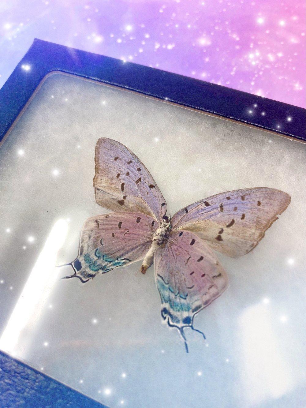 Image of REAL Fairy-Like Iridescent Butterfly (Pseudolycaena Damo Blue Purple Hairstreak)