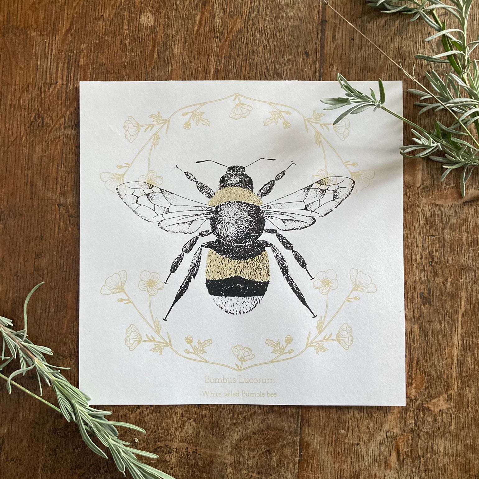 Image of White tailed bumble bee