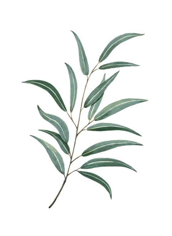 Image of Eucalipto
