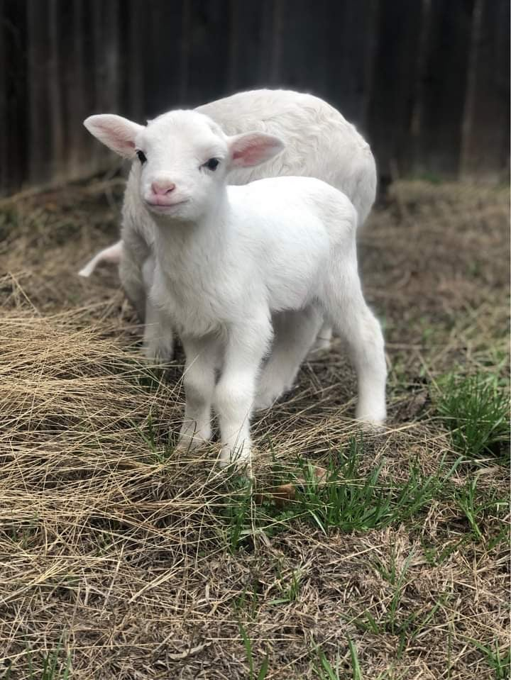 Image of Easter mini feat. Baby lamb