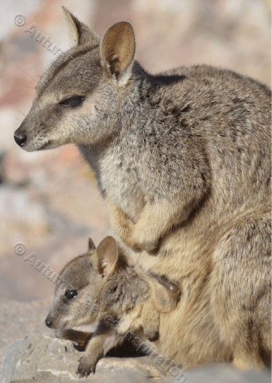 Image of A16 Rock Wallaby and Joey