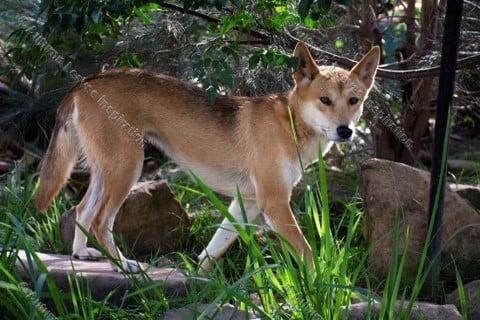 Image of A25 Australian Dingo - NEW!