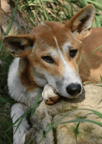 Image of A26 Dingo with head on paws - NEW!