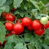 PLANT - TOMATO: CHERRY LARGE