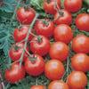 PLANT - TOMATO: SUPERSWEET 100
