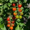 PLANT - TOMATO: CHERRY BOMB