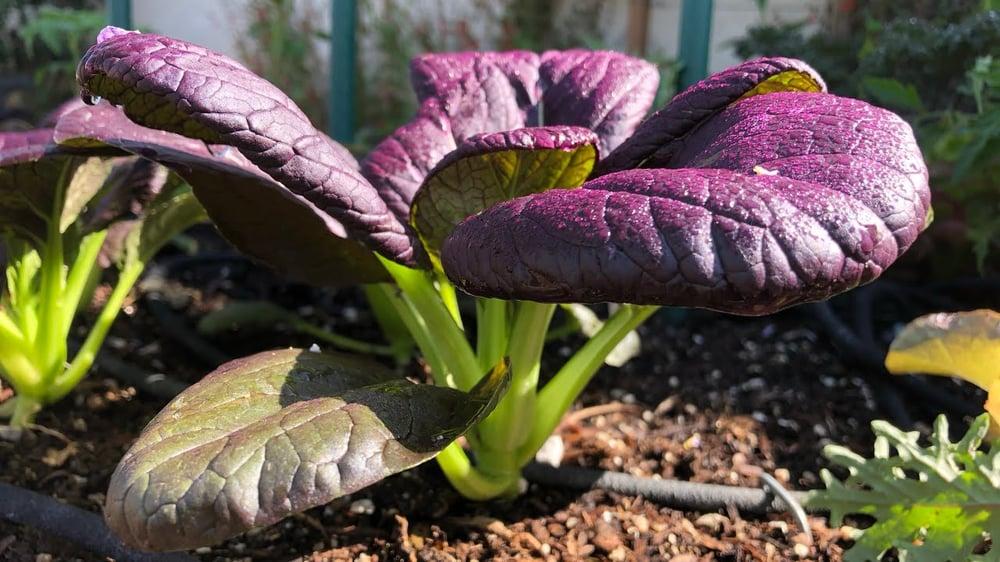 PLANT - PAK CHOI: PURPLE LADY