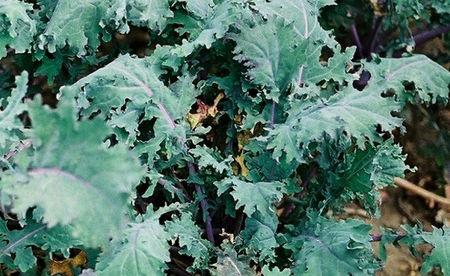 PLANT - KALE: RUSSIAN RED
