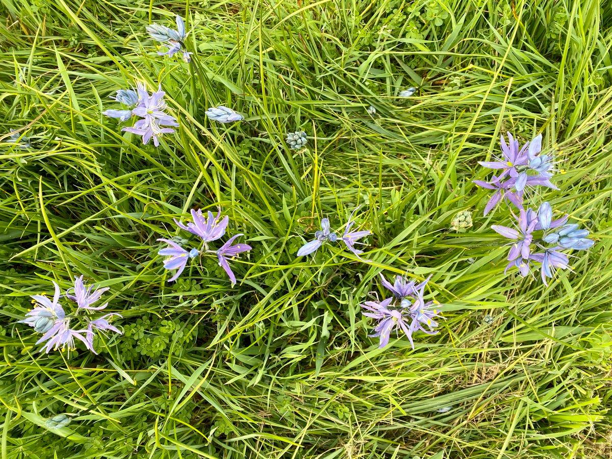 Great Camas : Camassia leichtlinii