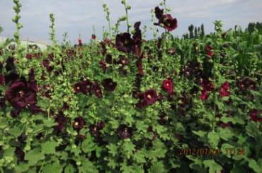 PLANT - HOLLYHOCK: BLACK