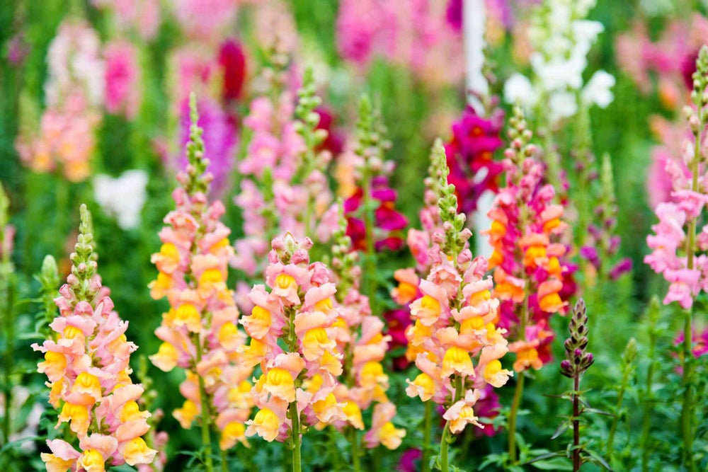 PLANT - SNAPDRAGON: TALL DELUXE